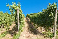 Free A Vineyard In Italy Royalty Free Stock Images - 26964789