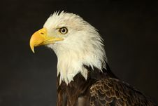 Portrait Of Bald Eagle Royalty Free Stock Image