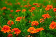 Free Marigold Stock Images - 26965694