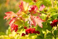 Free Red Viburnum Berries Royalty Free Stock Photos - 26967308