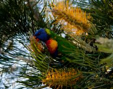 Free Rainbow Lorikeet In A Bottlebrush Tree Stock Images - 26967624