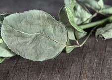 Free Dry Green Leaf From Rose Leaf Stock Photography - 26968102