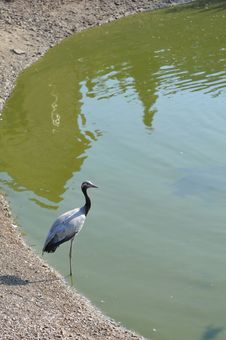 Free Heron Portrait Near Lake Royalty Free Stock Photo - 26968685