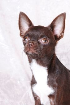 Free Brown Chihuahua Portrait Royalty Free Stock Photography - 26969357