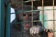 Free Macaque Iron-barred Royalty Free Stock Photos - 26969388