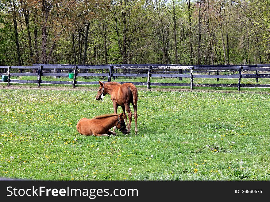 Duo of ponies resting in green fields.