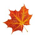 Free Red Leaf Of A Maple Stock Photography - 26974652