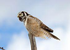 Northern Hawk-Owl Calling Royalty Free Stock Image