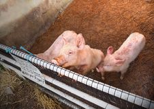 Free Dirty Piglets Royalty Free Stock Image - 26972676