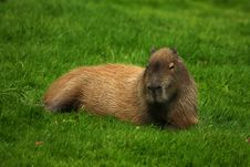 Free Capybara Relaxing Royalty Free Stock Photography - 26973307