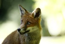 Free Friendly Fox Stock Photos - 26973353