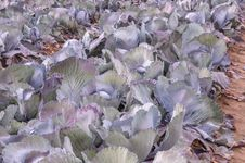 Free Closeup Of Red Cabbages In The Field Royalty Free Stock Image - 26974556