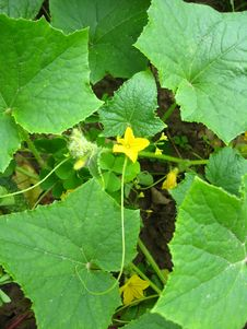 Flower Of A Cucumber With Leaves Royalty Free Stock Photos