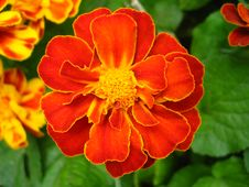 A Beautiful Flowers Of Tagetes Royalty Free Stock Image