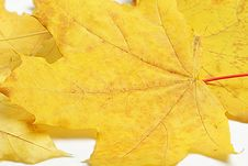 Free Maple Leaves. Royalty Free Stock Image - 26976606