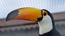 Free Toucan Bird America Stock Photos - 26978803