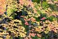 Free Maple Tree Stock Images - 26988864