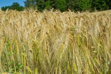Free Wheat Field Royalty Free Stock Image - 26981366