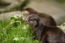 Free Otter Delight Stock Photo - 26989010