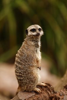 Free Meerkat Manor Royalty Free Stock Photo - 26989075