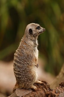 Free Meerkat Manor 1 Royalty Free Stock Images - 26989109