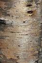 Free Karelian Birch Bark Royalty Free Stock Photography - 26998937