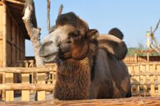 Free Camel Portrait Looking At Camera Royalty Free Stock Photography - 26998807