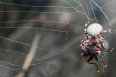 Free Spider Caught A Fly Royalty Free Stock Photos - 26998848