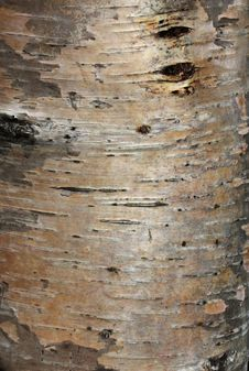 Free Karelian Birch Bark Royalty Free Stock Photography - 26998937