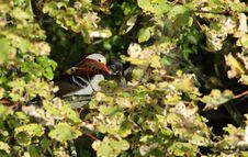 Mandarin Duck. Royalty Free Stock Photography