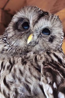 Free Owl As A Symbol Of Knowledge And Wisdom. Royalty Free Stock Photography - 26999577