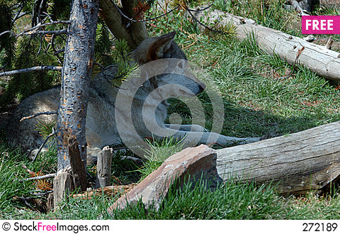 Free Timber Wolf Relaxing In Shade Royalty Free Stock Images - 272189