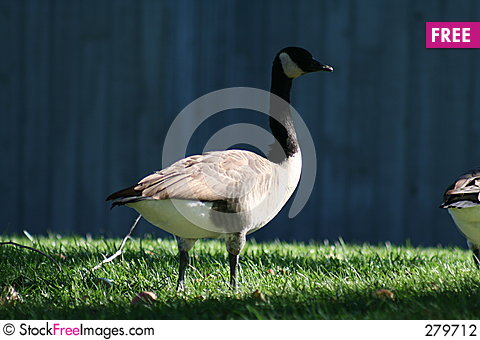 Free Shade Goose Stock Photography - 279712