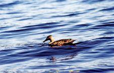 Free Duck Royalty Free Stock Photos - 270098