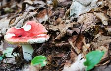 Free Red Cap Mushroom Royalty Free Stock Images - 271289