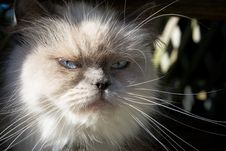 Free Blue Point Himalayan Cat Stock Photo - 271290