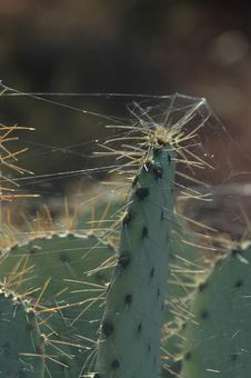 Free Web Covered Catus Spines Royalty Free Stock Photo - 271375