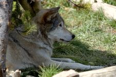Free Wolf Resting Under Tree Stock Photo - 272190