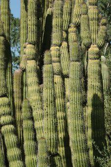Organ Pipe Cactus Stock Image