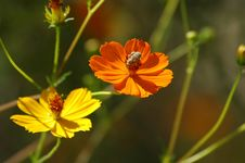 Free Bee On Poppies Stock Photos - 273003