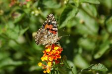 Free Butterfly Perched On Flower Royalty Free Stock Image - 273006