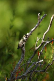 Free Perched Hummingbird Royalty Free Stock Image - 273066