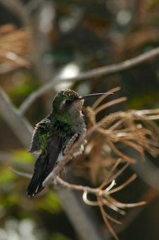 Free Perched Hummingbird Stock Images - 273074