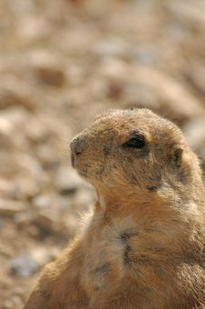 Free Black-footed Prarie Dog Royalty Free Stock Photos - 273098