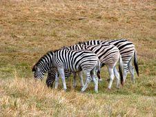 Free Zebra Lunch Stock Photos - 274113