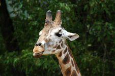 Free Giraffe Closeup Stock Images - 274994