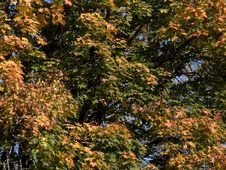 Free Maple Leaves Royalty Free Stock Photos - 275068