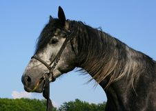 Free A Portrait Of A Gray Orlov Trotter Royalty Free Stock Photography - 276187