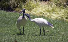Ibis S Royalty Free Stock Photography