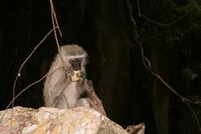 Free Moneky Eating Royalty Free Stock Photo - 276475